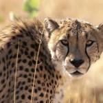 Советник Gepard (Гепард) 7 — Мульти 2012